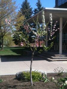 Tree planted at Syracuse University