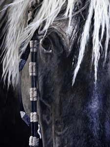 Chief / Rocky Mountain Horse