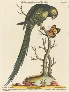 Psittacus minor viridis cauda longiore Occidentalis