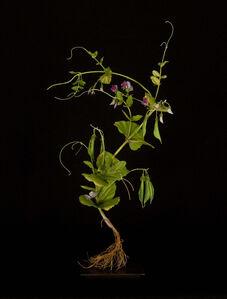 Sweet Pea Plant with Geometridae