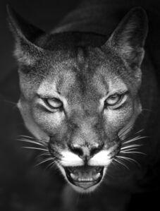 Suçuarana cougar, Brazil