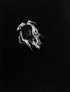 Dried Sunflower #19, Connecticut 1970