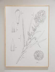 PIT#12 S BROMELIA TILANDSIA (BROMELIA PINEAPPLE FLOWER)