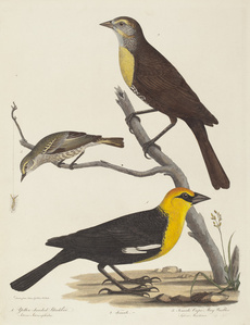 Yellow-headed Blackbird, Female Blackbird, and Female Cape May Warbler