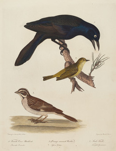 Female Crow Blackbird, Orange-Crowned Warbler, Lark Finch