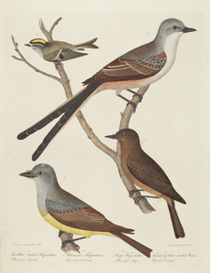 Swallow-tailed Flycatcher, Arkansas Flycatcher, Say's Flycatcher, and Female Golden-crested Wren
