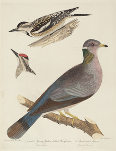Young Yellow-bellied Woodpeckers and Band-tailed Pigeon