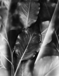 Fluted Leaves, from the series Finding Light