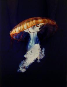 Pacific Sea Nettle Chrysaora Melanaster Long Beach, California October 18, 1998