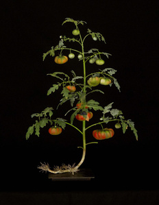 Tomato Plant with Syntomide