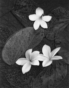 Three Plumeria Blossoms