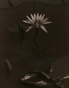 The Lily, Mount Kisco