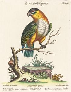 Psittacus viridis minor Mexicanus