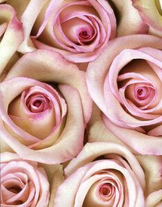Rosa 'Vogue' (CSL 044)