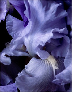 Bearded Iris Blue