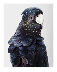 'Rosie' Red-Tailed Black Cockatoo