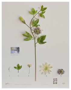 Expedição Califórnia: Passiflora Monroe