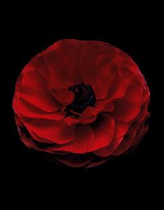 Ranunculus Rojo Perfection