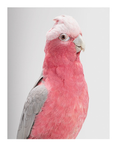 'Queenie' Galah Cockatoo