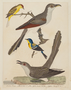 Carolina Cuckoo, Black-billed Cuckoo, Blue Yellow-backed Warbler, and Yellow Red-poll Warbler