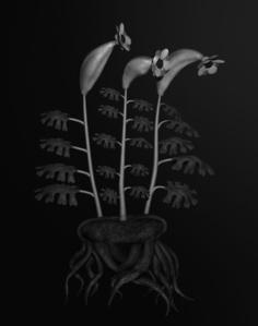 Voynich Botanical Studies, Specimen #55r Leto