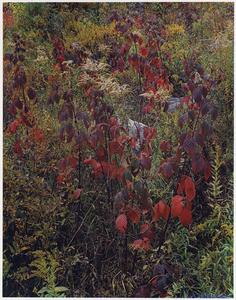 Blackberry Bushes, Adirondack Park, New York, September 30, 1963