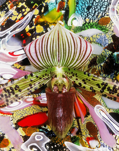 Paphiopedilum Spots and Gloss Galore