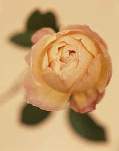 """Rosa """"Jude the Obscure' (CSL 93)"""