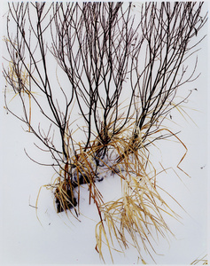 Grass in Snow, Route 3, North of Saranac Lake, Adirondack Mountains, New York, February 5, 1965