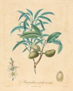 Amandier a feuilles de saulle