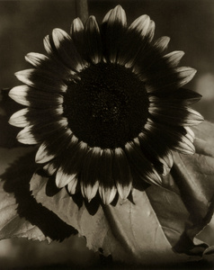 """Bee on a Sunflower, Part of Series """"Sunflowers from Seed to Seed"""""""