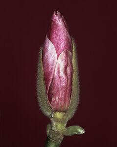 Magnolia x soulangiana bud