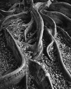 Roots, Foster Garden, Honolulu, Hawaii