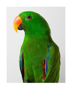 'Oscar' Eclectus Parrot