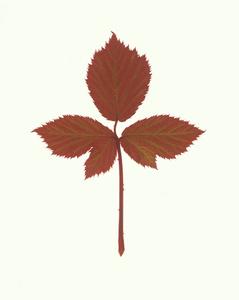 Bramble Robin (vii) - Hayne Down, Spring