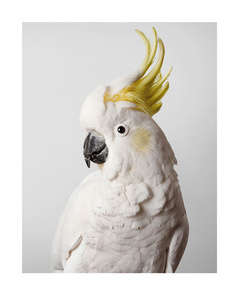 'Slim' Sulphur crested cockatoo
