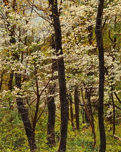 Thicket No. 41: Spring Dogwood