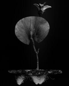 Voynich Botanical Studies, Specimen 02v Leto