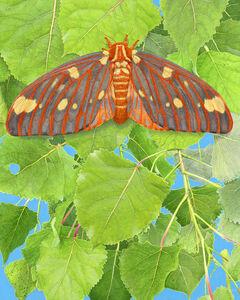 Regal Moth & Aspen