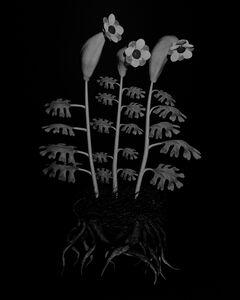 Voynich Botanical Studies, Specimen 55r Zima