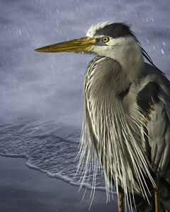 Great Blue in the Rain