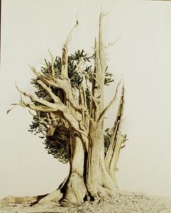 Bristlecone Pine II, White Mtn, CA