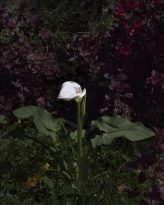 Imaculado (Arum Lily)