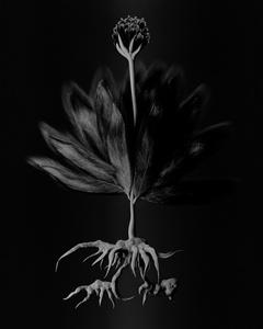 Voynich Botanical Studies, Specimen 55v Zima