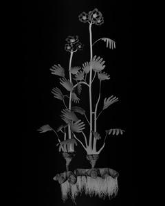 Voynich Botanical Studies, Specimen 23r Zima