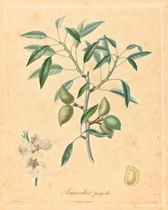 Amandier pistache