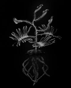 Voynich Botanical Studies, Specimen 06r Leto