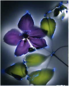 Purple Clematis, 23/25