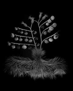 Voynich Botanical Studies, Specimen 34v Zima