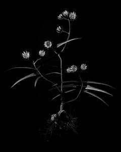 Voynich Botanical Studies, Specimen 20v Zima